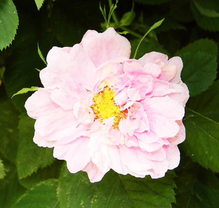 L Huile De Rose Musquee Un Must Have De La Cosmetique Bio